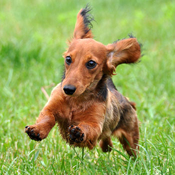 playful dachshund